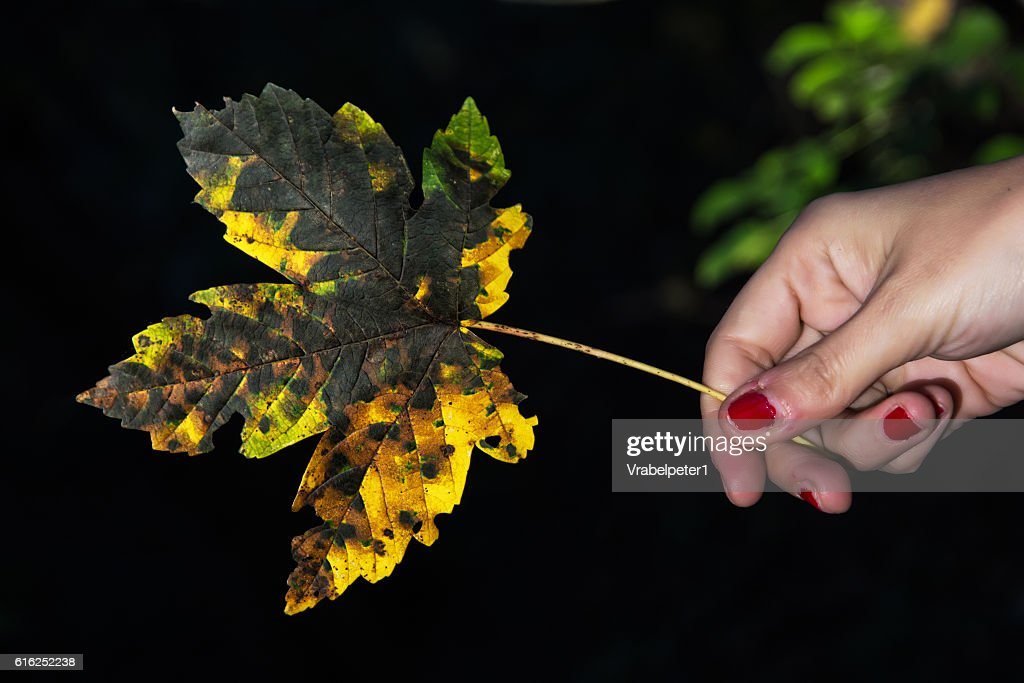 Yellow autumn maple leaf in female hand : Foto de stock
