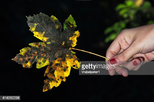Yellow autumn maple leaf in female hand : Stock Photo