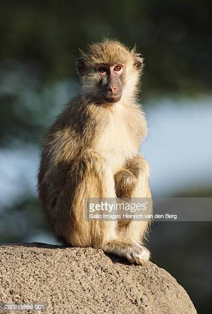 Yellow Baboon (Papio cynocephalus) sitting on rock