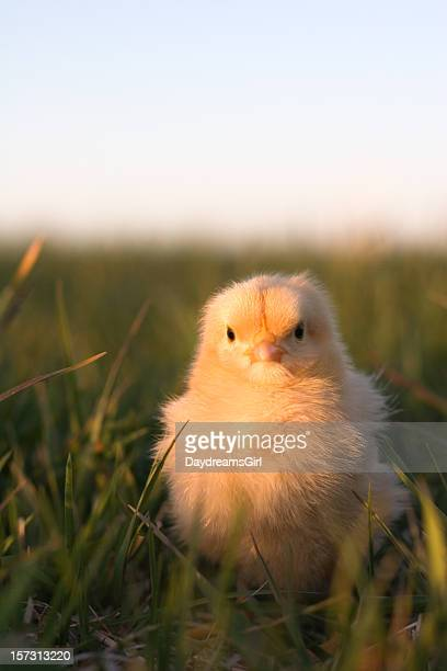 White Leghorn Stock Photos and Pictures | Getty Images