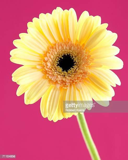 Yellow Barberton Daisy (Gerbera jamesonii) on a Pink Background