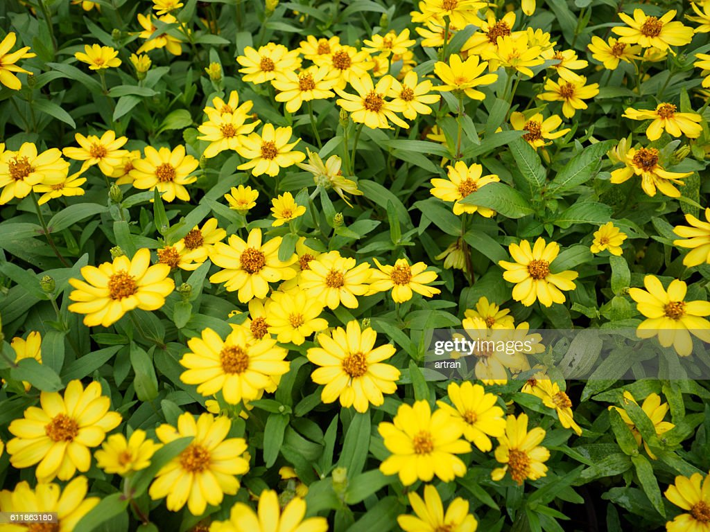 Yellow Beautiful Sunflowers In Garden Stock Photo Getty Images