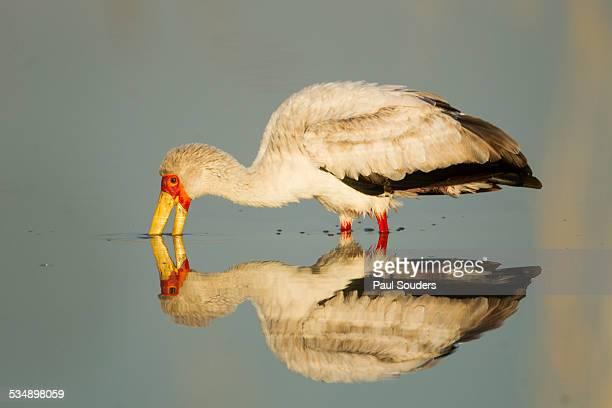 Yellow Billed Stork, Moremi Game Reserve, Botswana