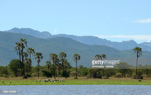 Yellow billed storks, Palm trees and Mountains, Malawi, Africa