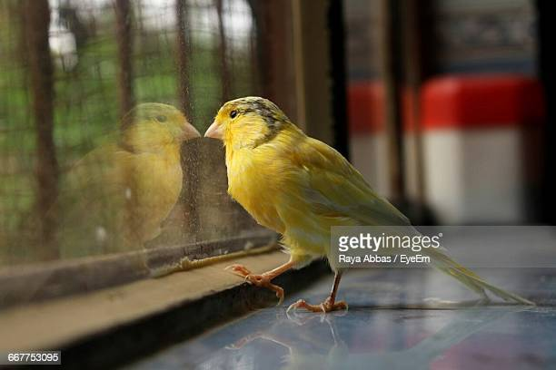 Yellow Bird By Window