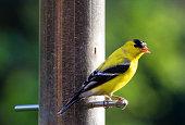 American Goldfinch feeding in the backyard.
