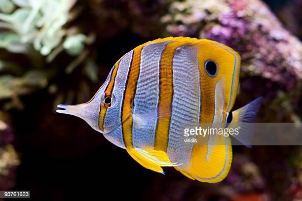 A yellow blue and white butterfly fish