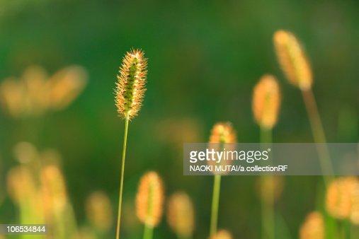 Yellow Bristle Grass