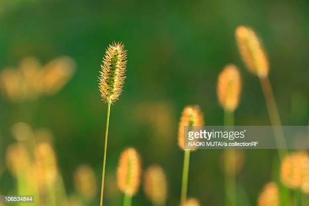 Yellow Bristle Grass