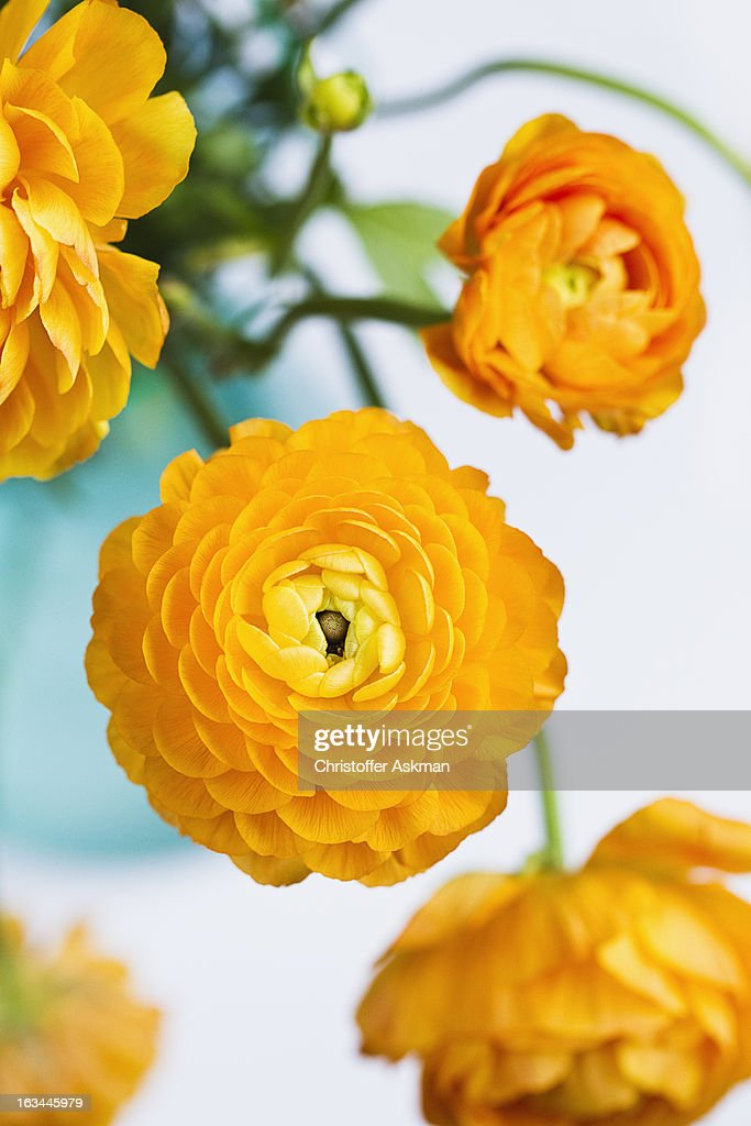 yellow buttercup flowers : Stock Photo