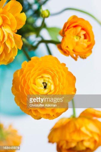 yellow buttercup flowers : Bildbanksbilder