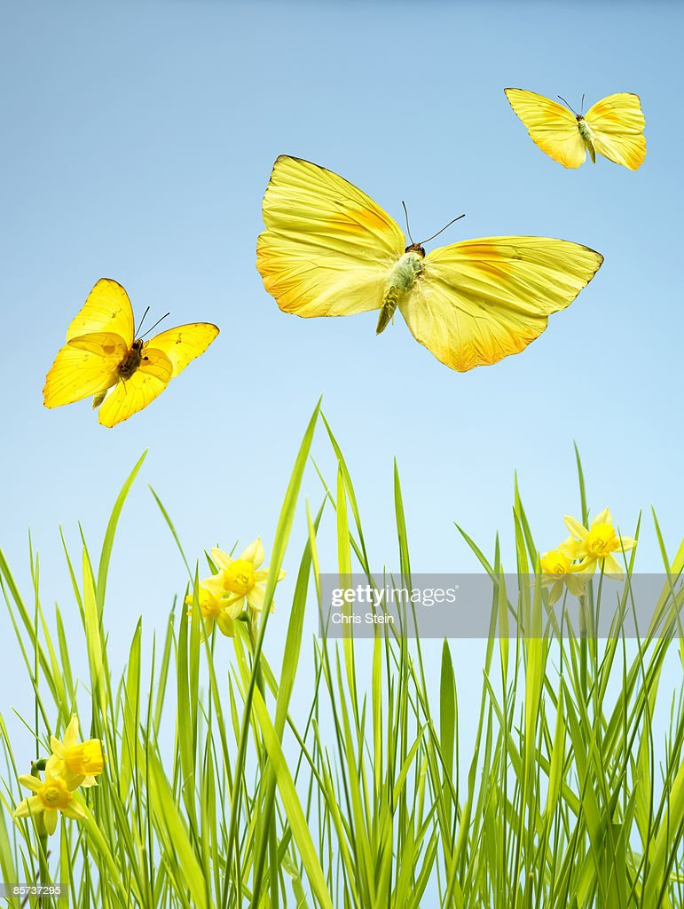 Yellow Butterflies with Grass and Daffodils : Stock Photo