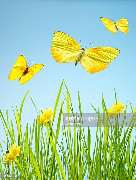 Yellow Butterflies with Grass and Daffodils