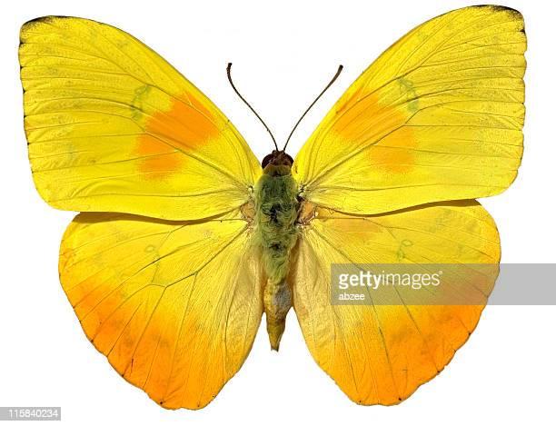 Papillon jaune isloated sur blanc