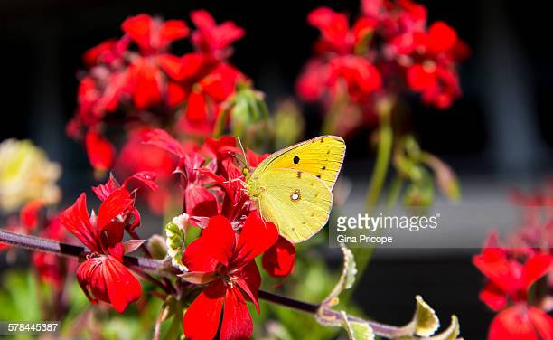 Yellow butterfly on a red flower, close-up view