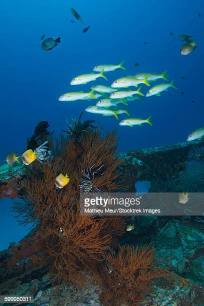 Yellow butterflyfish and school of goatfish over black coral bush on a small wreck.