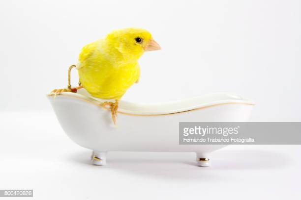 Yellow canary taking a bath in the bathtub