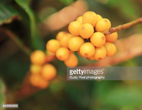 Yellow Caturra Hawaiian Coffee Cherries