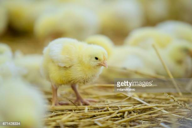 Yellow chicken with friends on hay