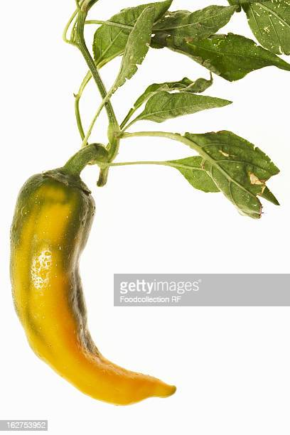 Yellow chilli pepper with leaves