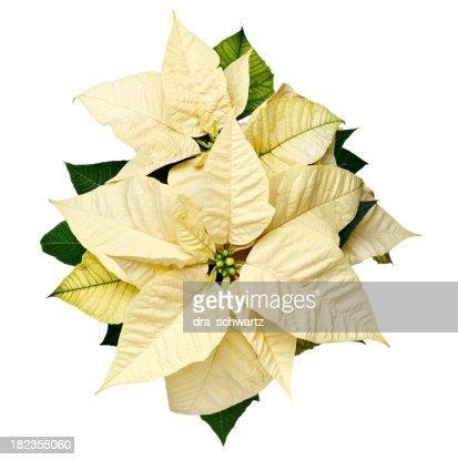 Yellow Christmas Poinsettia