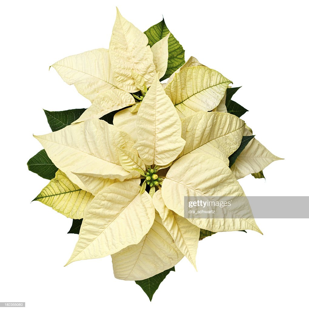 yellow christmas poinsettia - Christmas Poinsettia