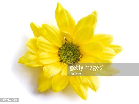 Yellow chrysanthemum flower on white