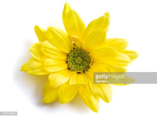 Yellow chrysanthemum flower on white