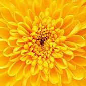 autumn yellow flower chrysanthemum background, macro shot