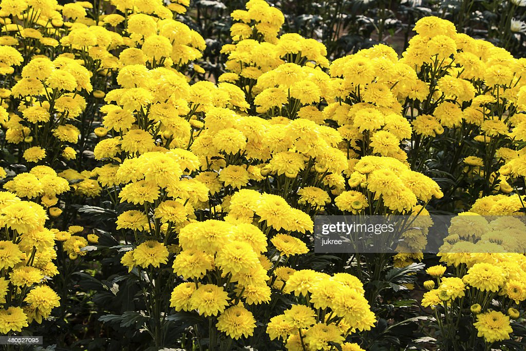 Fleurs de chrysanthème jaune : Photo