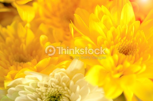 Yellow chrysanthemum flowers stock photo thinkstock yellow chrysanthemum flowers stock photo mightylinksfo