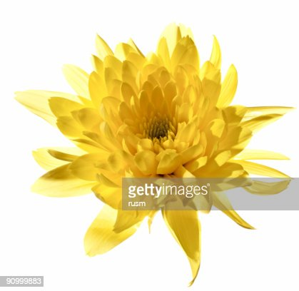 Yellow chrysanthemum, isolated with clipping path on white background