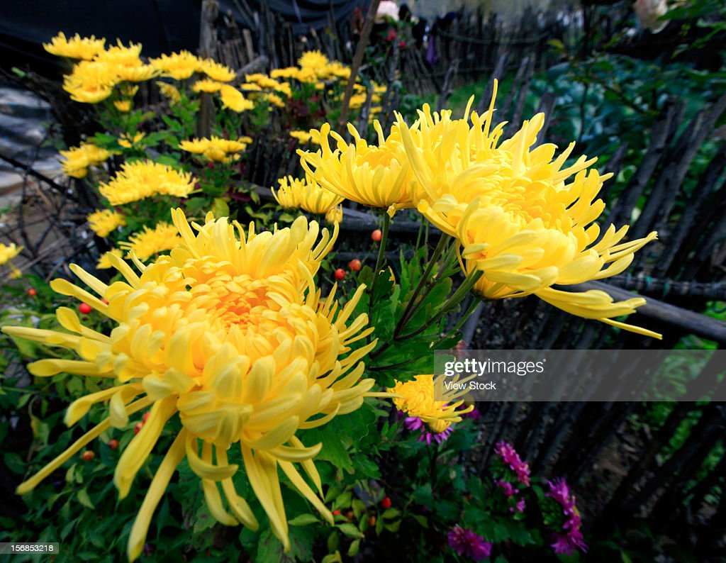Yellow chrysanthemum : Stock Photo