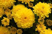 Chrysanthemum flowers macro image, floral vintage background