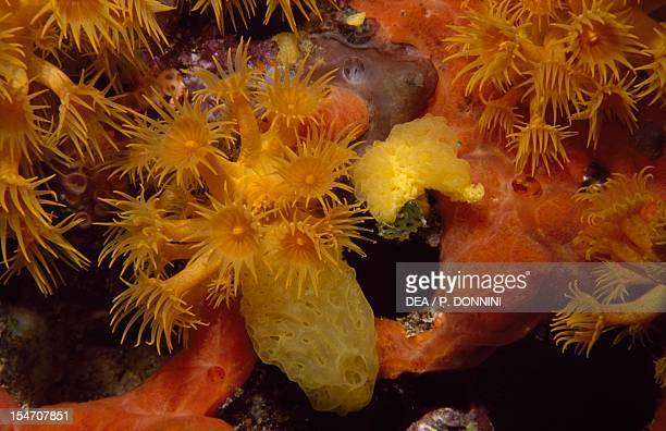 Yellow Cluster Anemone and sponges Parazoanthidae