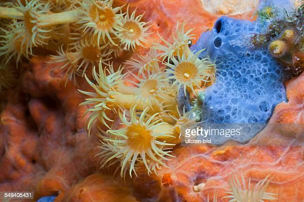 Yellow Cluster Anemone on red Sponge Parazoanthus axinellae Tamariu Costa Brava Mediterranean Sea Spain