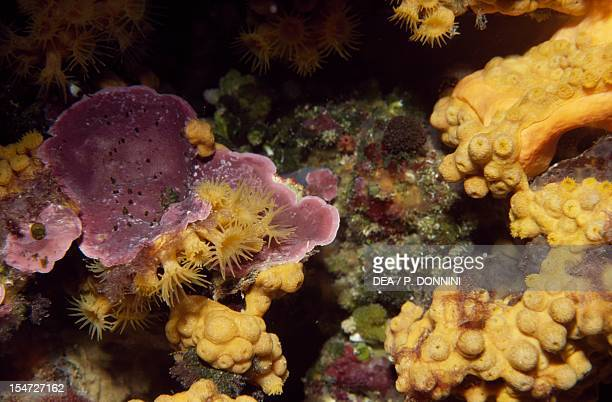 Yellow Cluster Anemone Parazoanthidae Mediterranean Sea