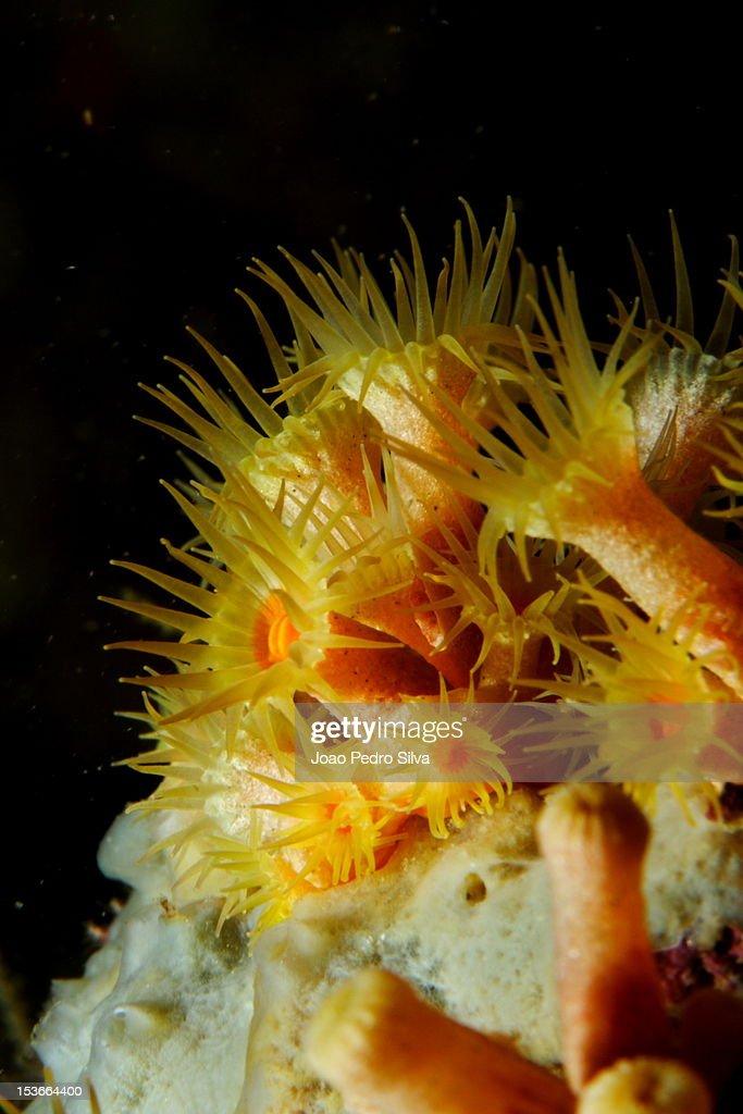 Yellow Cluster Anemones (Parazoanthus axinellae) : Stock Photo