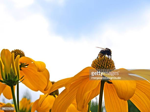 Yellow Cone Flowers and Bee