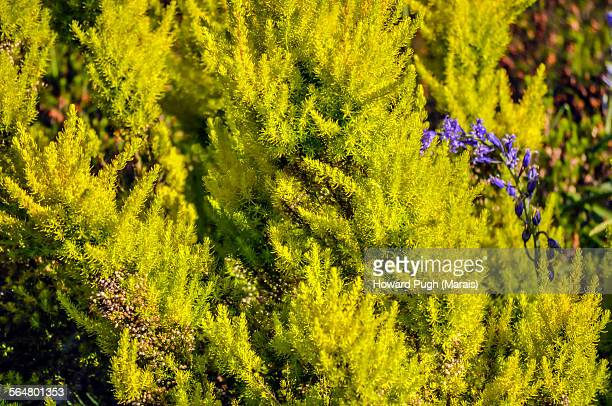 Yellow Conifer and dash of blue