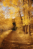 Yellow cottonwood trees, and path
