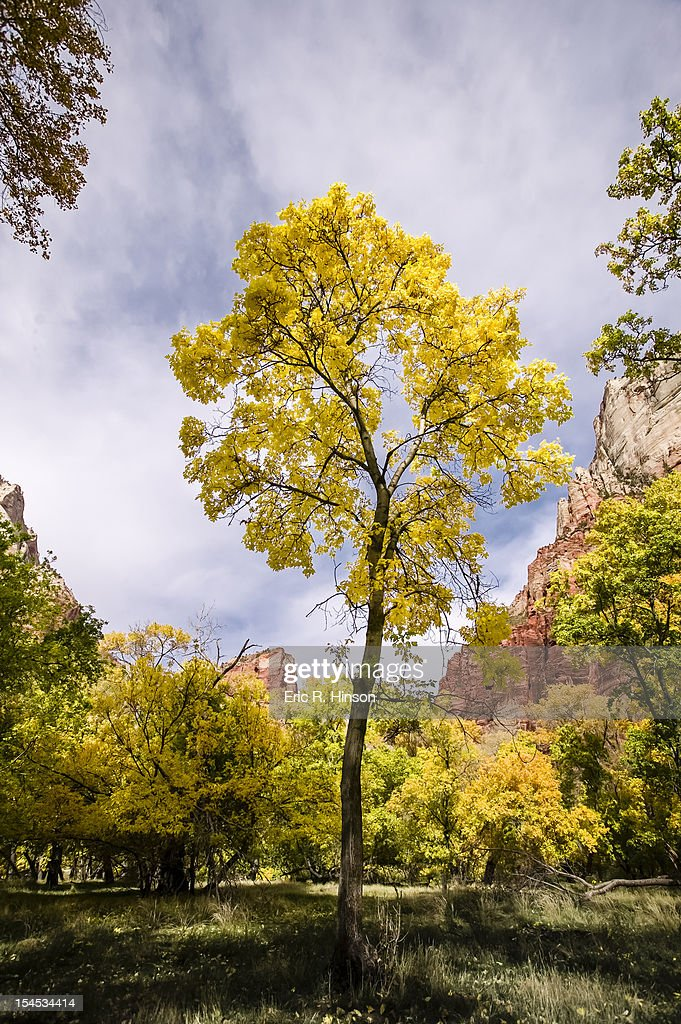 Yellow cottonwoods, Zion National Park : Stock Photo