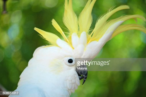 Yellow Crested Cockatoo : Stock Photo