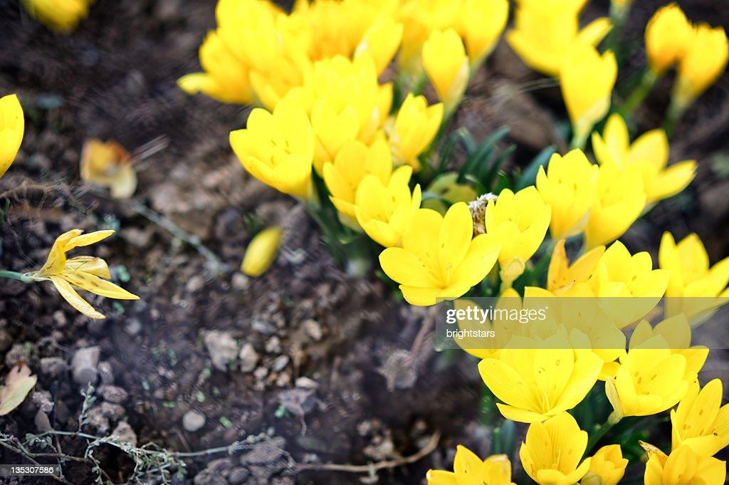 Yellow crocus : Stock Photo