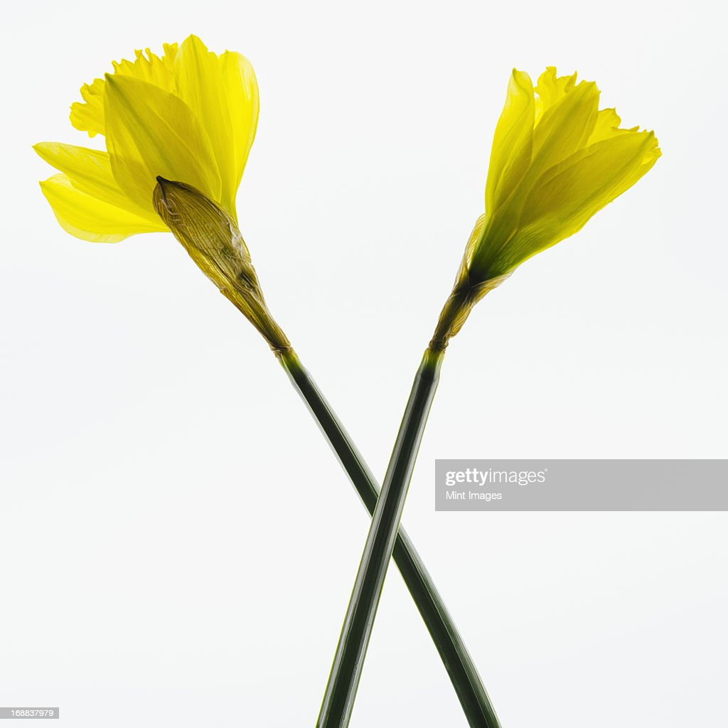 Yellow Daffodil flowers on a white background. : Stock Photo