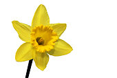 Closeup of yellow daffodil head, isolated on white background with copy space