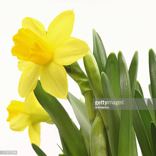 yellow daffodil (narcissus) isolated on white