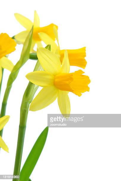 Yellow daffodils bouquet