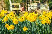 Beautiful yellow daffodils in the garden