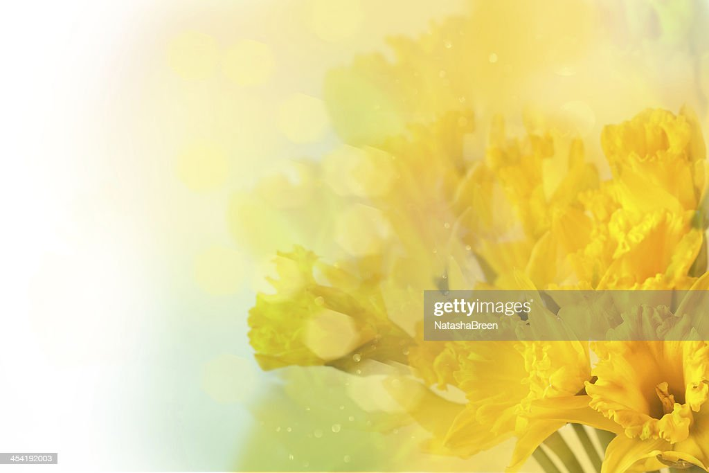 Amarelo daffodils : Foto de stock